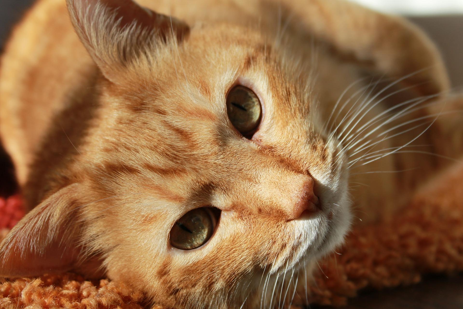 gatto, Animale domestico, sguardo, occhi, amico, Brown - Sfondi HD - Professor-falken.com