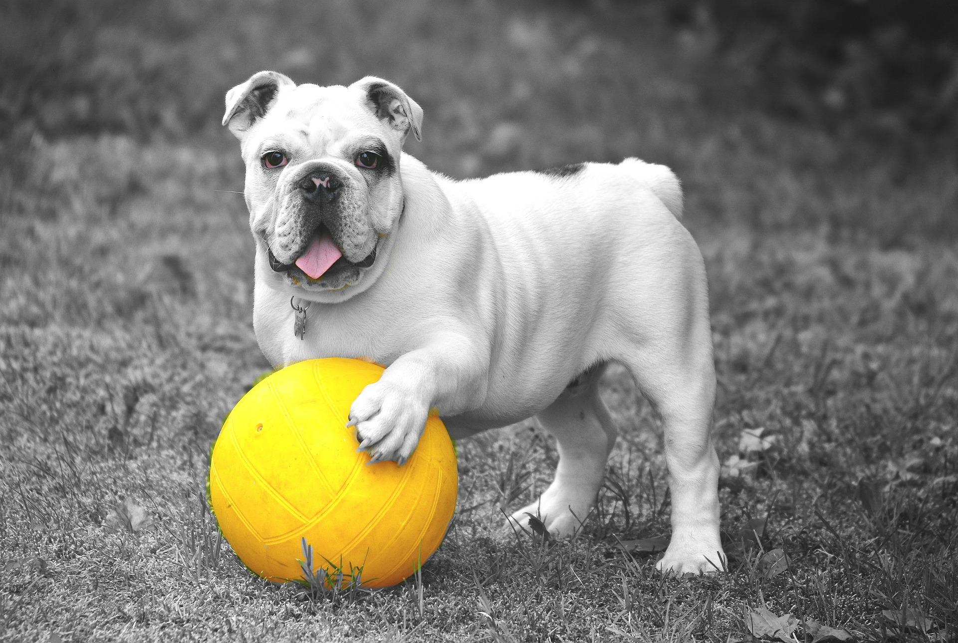 chien, Ball, Animal de compagnie, en noir et blanc, jeu - Fonds d'écran HD - Professor-falken.com