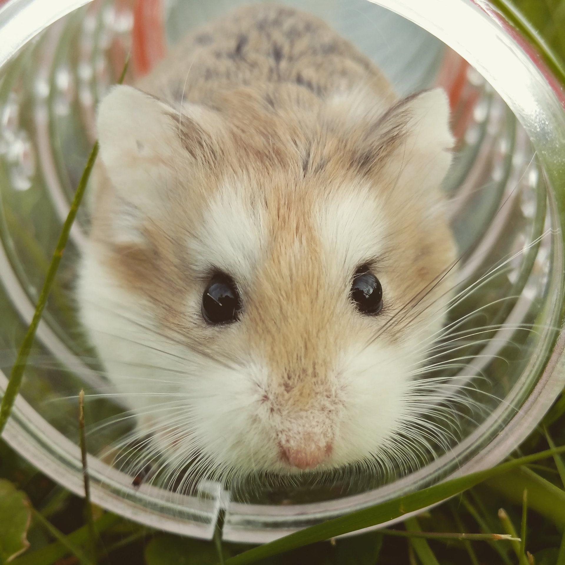 鼠标, 字段, tubo, 宠物, 啮齿类动物 - 高清壁纸 - 教授-falken.com