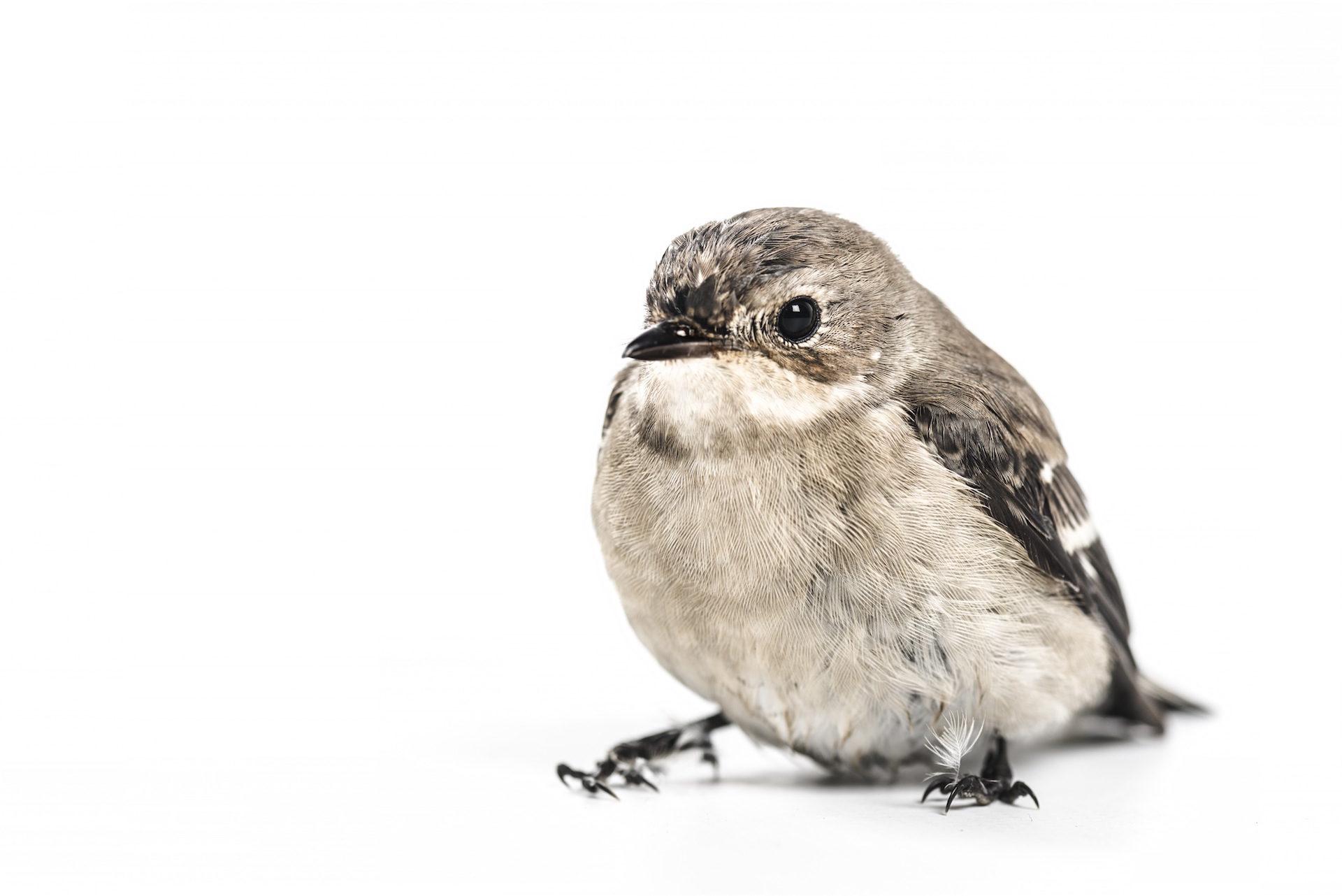 gorrión, 鳥, 外観, 目, 羽 - HD の壁紙 - 教授-falken.com