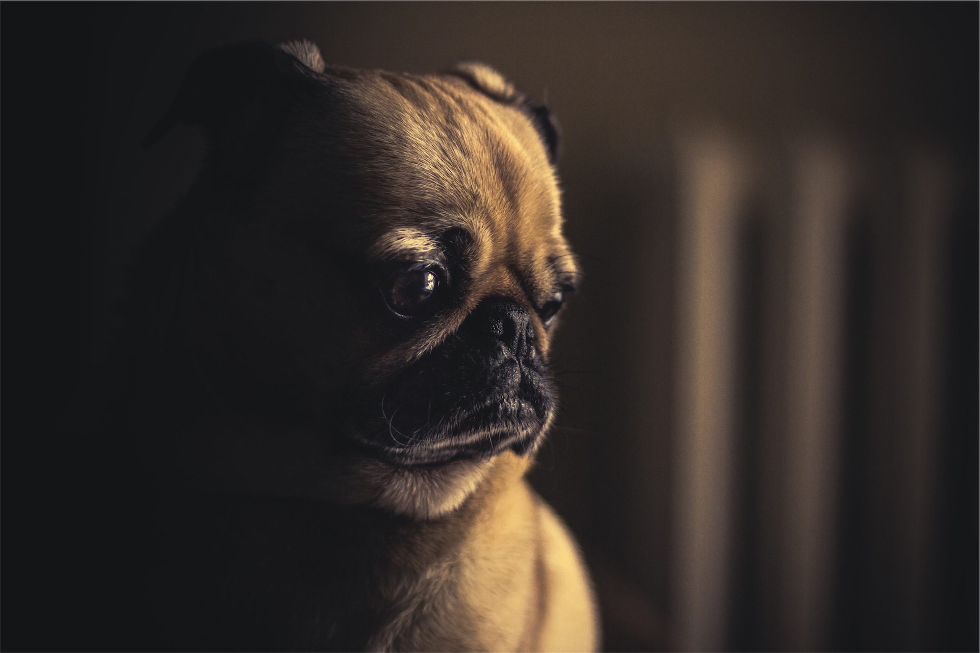 perrito, Cucciolo, viso, sguardo, triste - Sfondi HD - Professor-falken.com
