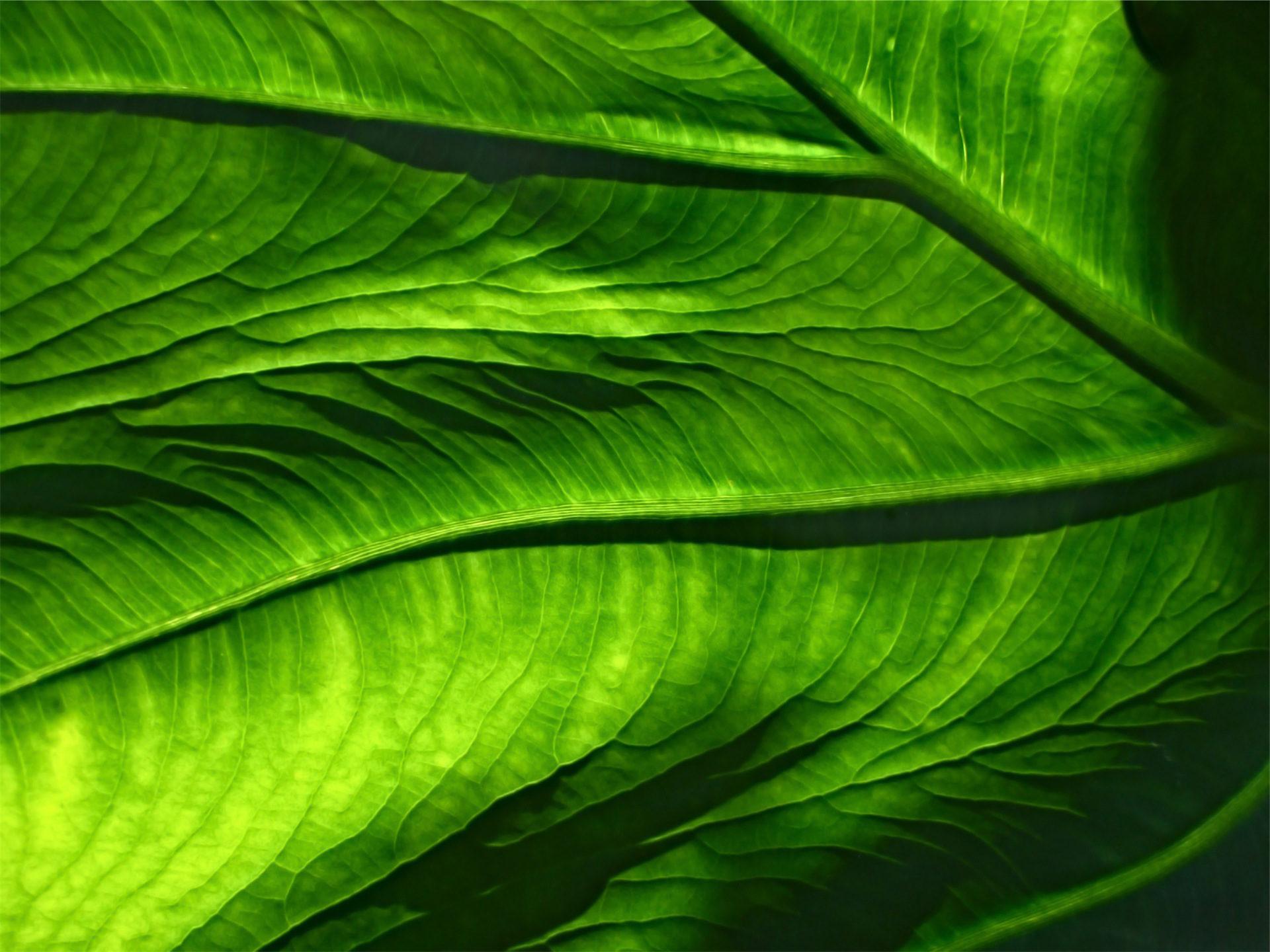 piso térreo, folha, veias, Flora, Verde - Papéis de parede HD - Professor-falken.com