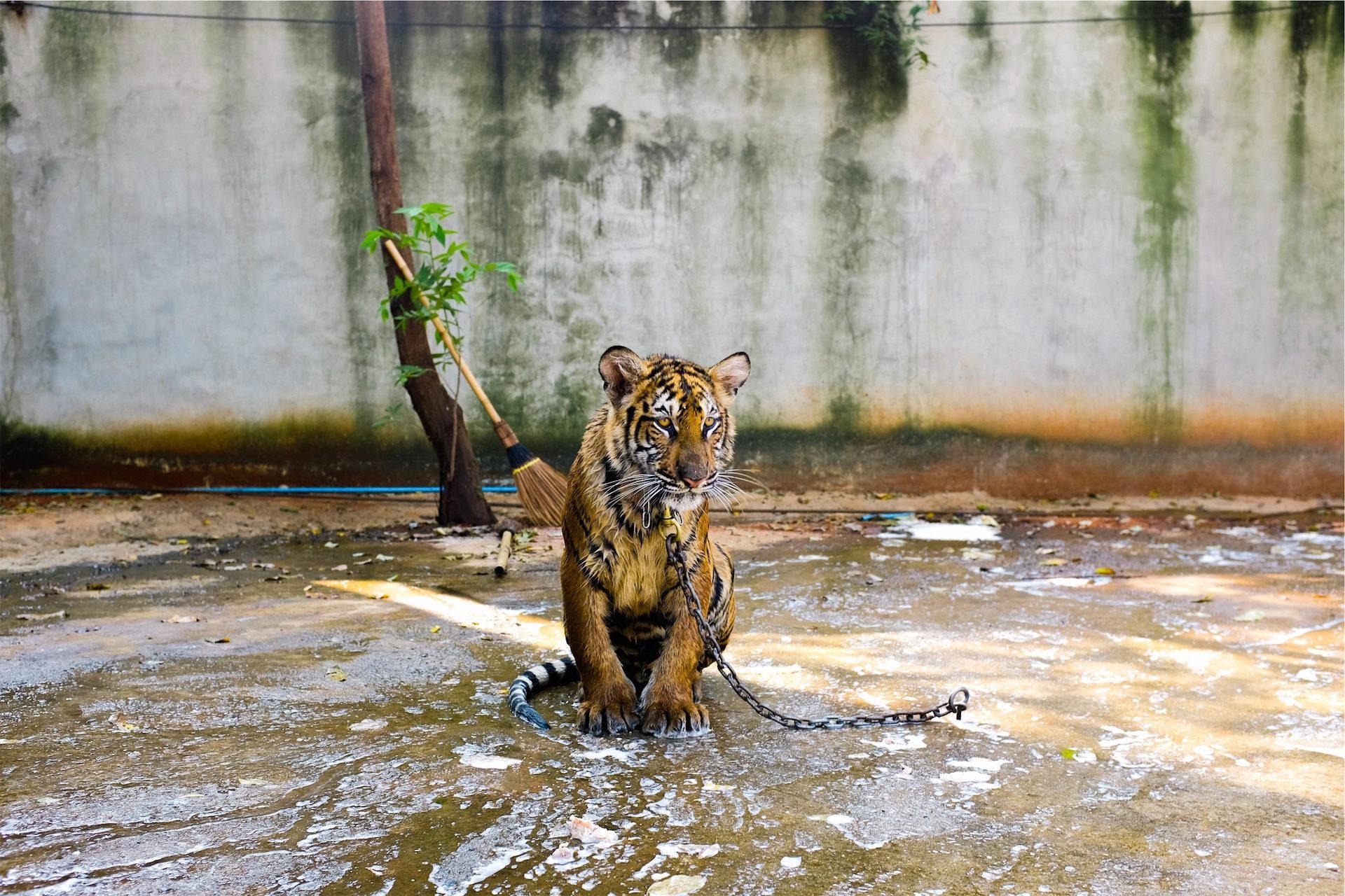 タイガー, 捕虜, 動物園, チェーン, 外観 - HD の壁紙 - 教授-falken.com