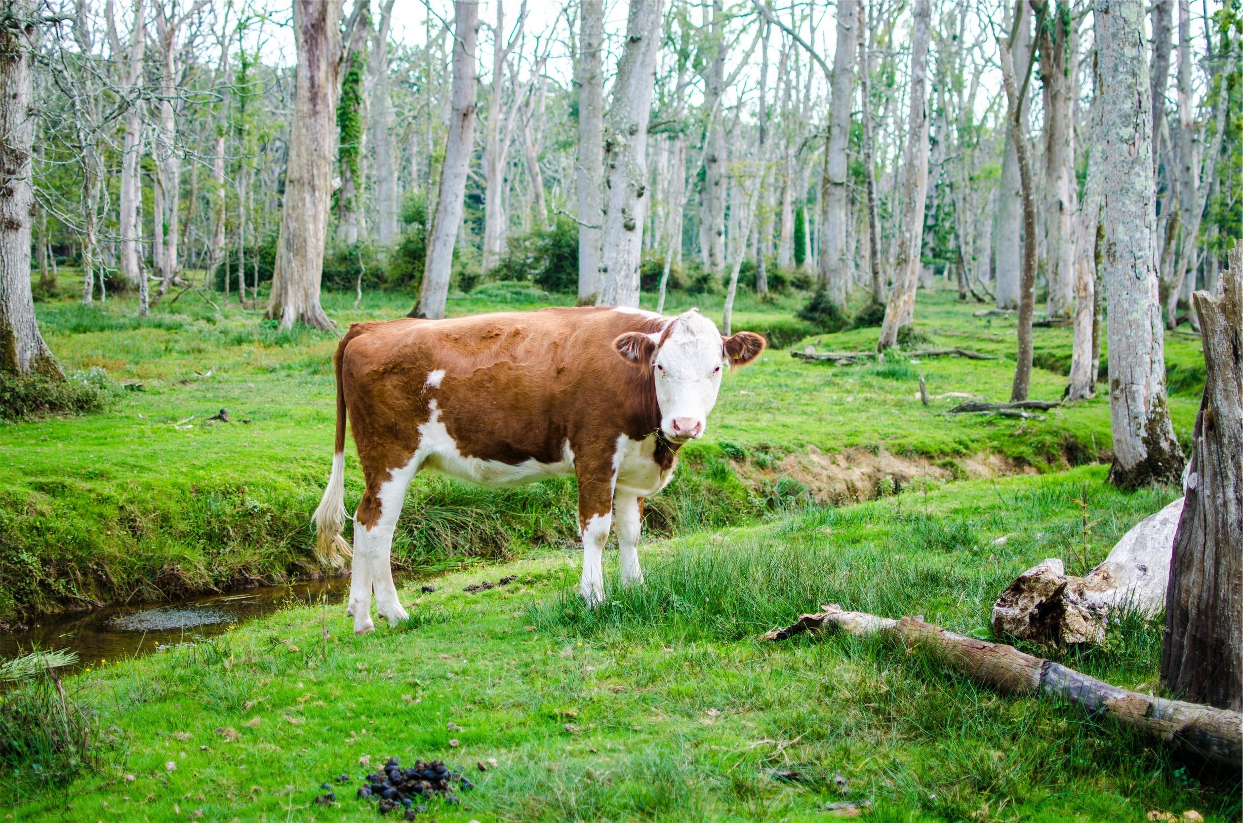 母牛, ternera, 森林, 看看, 树木 - 高清壁纸 - 教授-falken.com