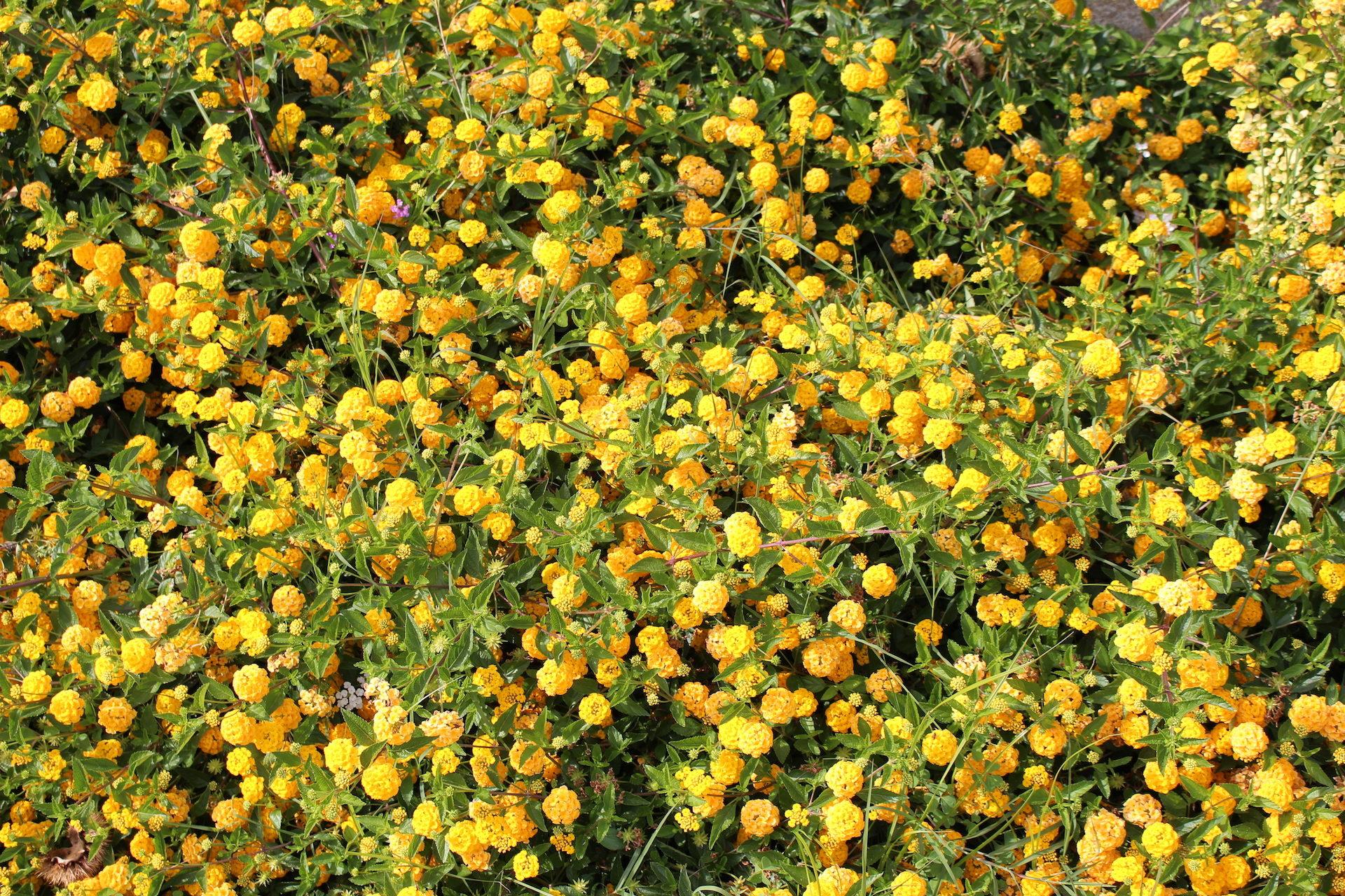 fleurs, plantes, abondance, Ramos, Jaune - Fonds d'écran HD - Professor-falken.com